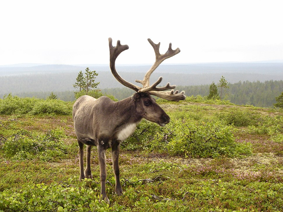 Reindeer in finnish fell-2