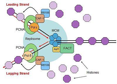 Eukaryotic Dna Replication Wikipedia