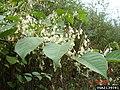 Reynoutria japonica fruit (04).jpg