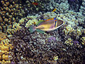 Rhinecanthus assasi - Rotmeer-Picassodrueckerfisch 0944.jpg