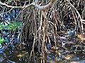 Rhizophora mangle (red mangroves) (Sanibel Island, Florida, USA) 5 (24417607496).jpg