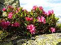 Rhododendron ferrugineum Valais1.JPG