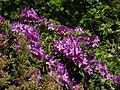 Rhododendron ponticum ssp. baeticum in Cambarinho Botanical Reserve, Portugal.JPG