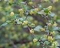 Ribes alpinum - Fleurs-2.jpg
