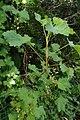 Ribes nigrum kz1.jpg