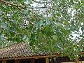 Ridi Vihara-Ficus religiosa (3).jpg