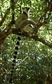 Ring tailed Lemur - Flickr - gailhampshire.jpg