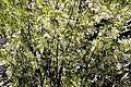 Robinia pseudoacacia - Akasya 01.jpg