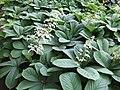 Rodgersia aesculifolia a1.jpg