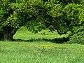 Roe Deer Grazing - geograph.org.uk - 1299714.jpg