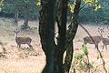 Roe Deer at Kleine Heide, Veluwe.jpg