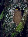 Roosting Crested Serpent Eagle (13997642418).jpg