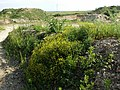 Rorippa austriaca sl14.jpg