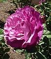 Rosa-wildblueyonder.jpg