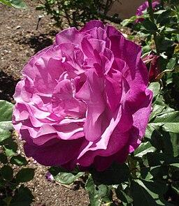 Rosa-wildblueyonder