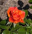 Rosa. Rode cultivar (actm) 02.jpg