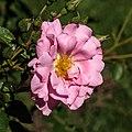 Rosa 'Camelot' (actm).jpg
