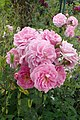 Rosa 'Lavender Lassie' kz1.jpg