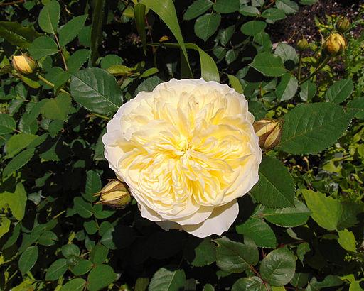 Rosa 'The Pilgrim', JBM