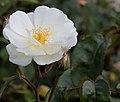 Rosa 'moonlight' Moschatahybride 002.JPG