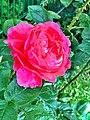 Rosa cultivars (8356066084).jpg