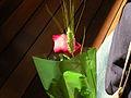 Rosa de Sant Jordi.jpg