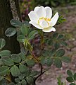 Rosa spinosissima inflorescence (77).jpg