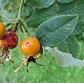 Rosa villosa fruit (07).jpg