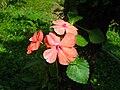 Rosas de La Vega.JPG