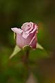 "Rose, ""Lady X"" - Flickr - nekonomania.jpg"