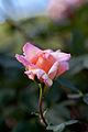 Rose, Michele Meilland - Flickr - nekonomania.jpg