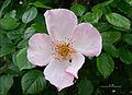 Rose 2 FR 2012.jpg