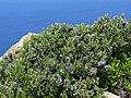 Rosmarinus officinalis 2 (Corse).JPG