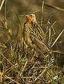 Rosy-throated Longclaw - Kenya IMG 2967 (16813286708).jpg
