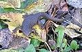 Rough-skinned newt (Taricha granulosa).JPG