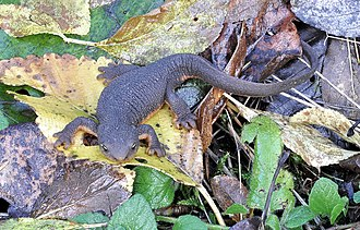 Poisonous amphibian - The rough skinned newt is one of only three species of venomous salamanders.
