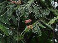 Roxburgh's Cassia (2771902434).jpg