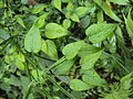 Rubia cordifolia 05.JPG