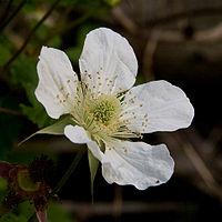 Rubus hirsutus 04.jpg