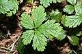 Rubus pedatus 6616.JPG