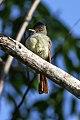 Rufous-tailed Flycatcher (Myiarchus validus) (8082120477).jpg
