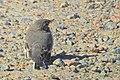 Sädesärla White Wagtail (20342491732).jpg
