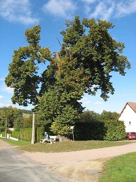 Saligny (Yonne): tilleul remarquable planté en 1781
