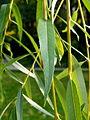 Salix chrysocoma (11).JPG