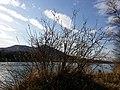 Salix cinerea (s. str.) sl6.jpg
