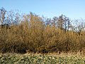 Salix purpurea sl10.jpg