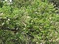 Salix tetrasperma - Indian Willow at Bavali (13).jpg