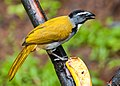 Saltator atriceps -near Rancho Naturalista, Cordillera de Talamanca, Costa Rica-8.jpg