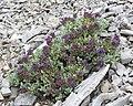 Salvia dorrii var clokeyi 7.jpg