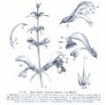 Salvia patens GS231.png